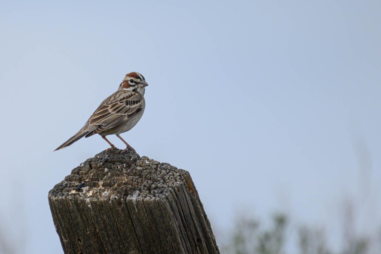 Lark Sparrow