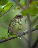 NWaterthrush