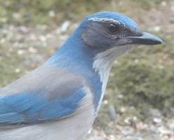 picture of California Scrub-Jay